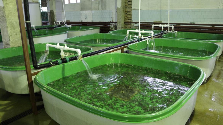 АО «Краслесинвест» выпустил в Ангару более тысячи мальков сибирского осетра